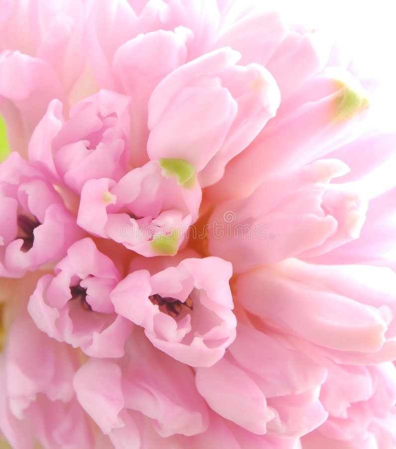 Pink hyacinths royalty free stock photo