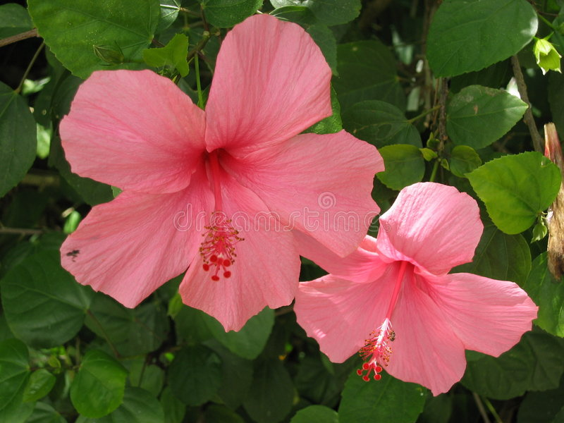 Pink hybiscus royalty free stock images