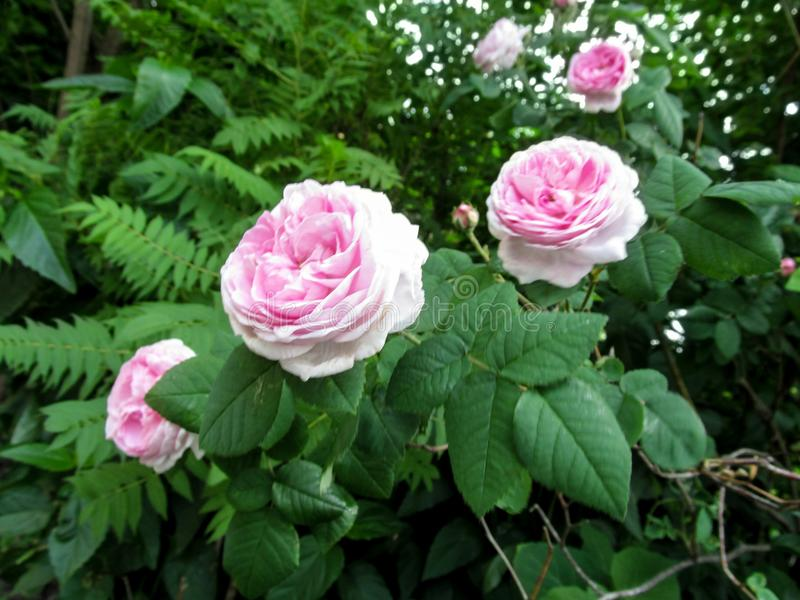 Pink Hybrid Tea rose of Rosa odorata cultivar on the bush in the garden stock photos