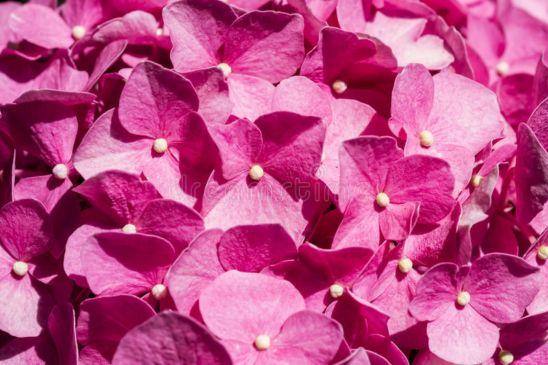 Download Pink Hydrangea stock image. Image of bridal, detailed - 25493559