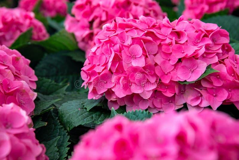 Pink hydrangea-bloem in groen, botanische tuinfotocloseup Helderroze tropische bloem op struik royalty-vrije stock foto's