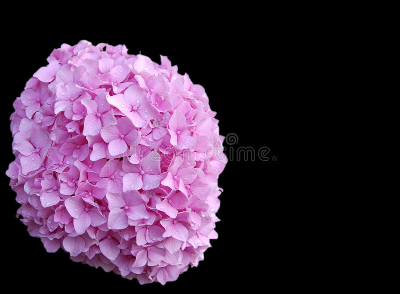 Pink hydrangea bloom royalty free stock images