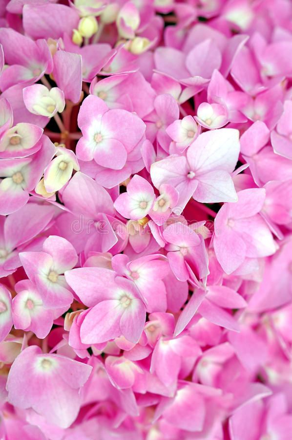Download Pink Hydrangea stock image. Image of energizing, grow - 40269417