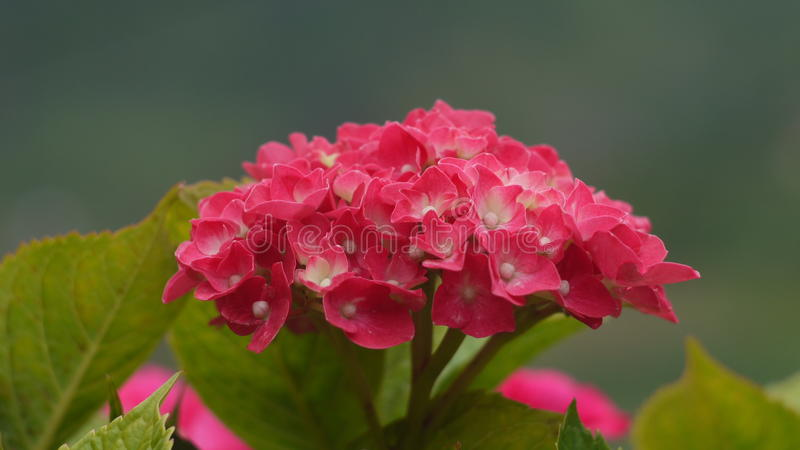 Pink Hydrangea closeup royalty free stock image