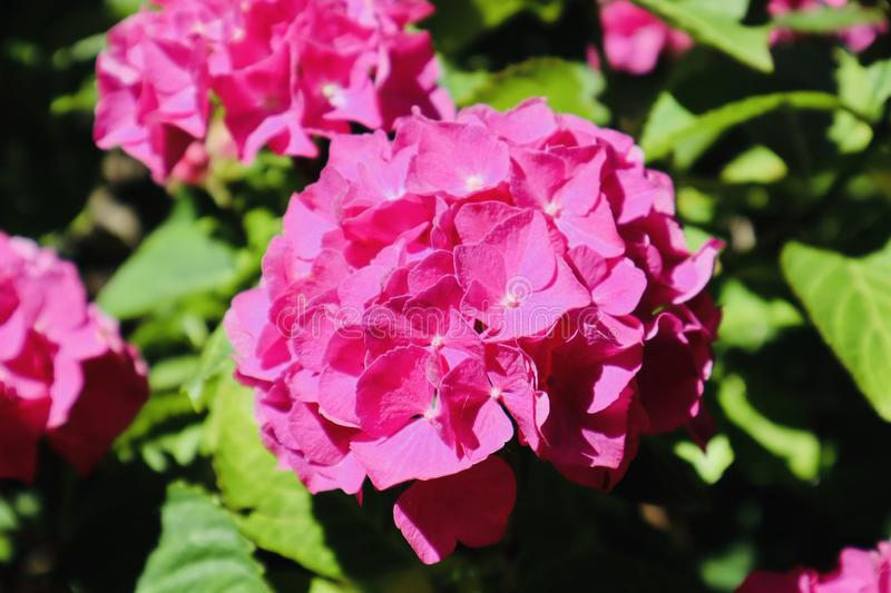 Pink hydrangea flower blooming during summer. royalty free stock photography