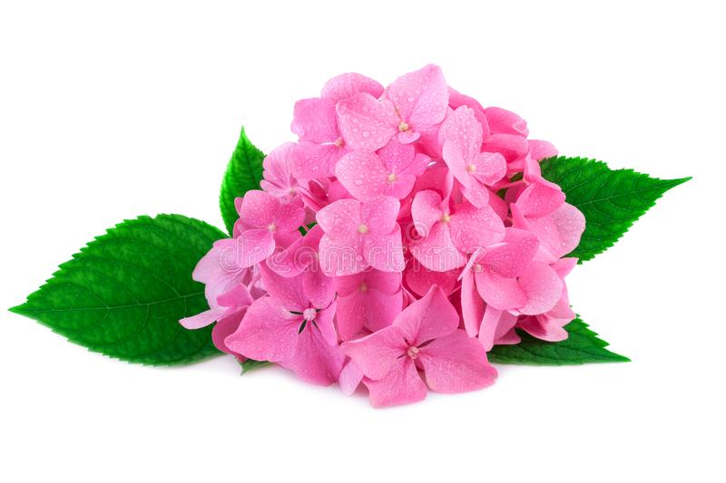 Pink hydrangea flower with green leaves and water drop isolated on white royalty free stock photos