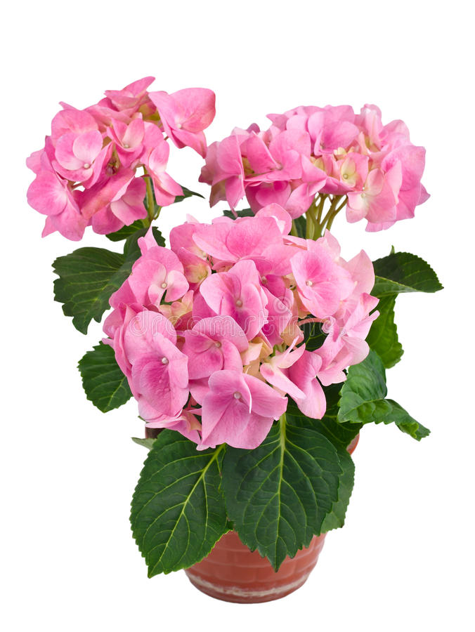 Pink hydrangea flower in a pot stock photo
