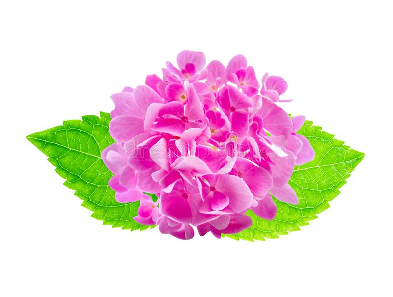 Pink Hydrangea flower on white stock photography