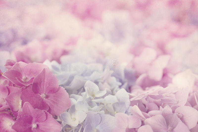 Download Pink hydrangea flowers stock image. Image of flower, floral - 34196753