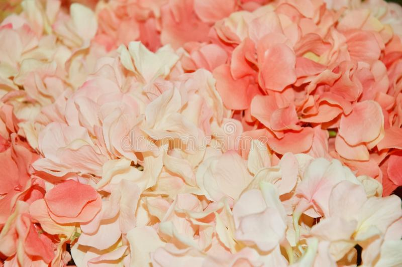 Pink Hydrangea Flowers Up Close royalty free stock photo