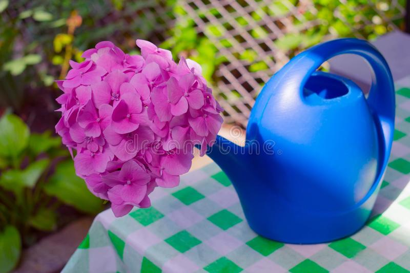 Pink hydrangea flowers in blue watering can on a table in the garden. royalty free stock images