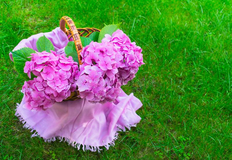 Pink hydrangea flowers in a wicker basket on juicy green grass. Copy space. royalty free stock images