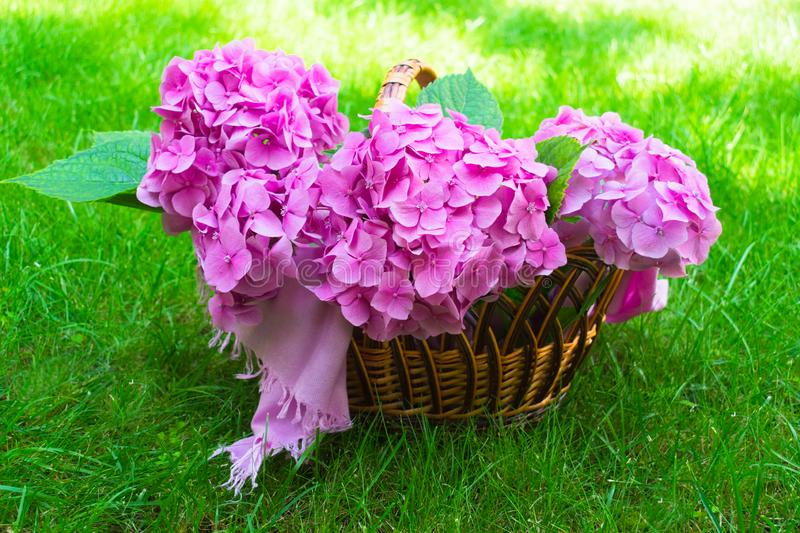 Pink hydrangea flowers in a wicker basket on lush green grass. stock images