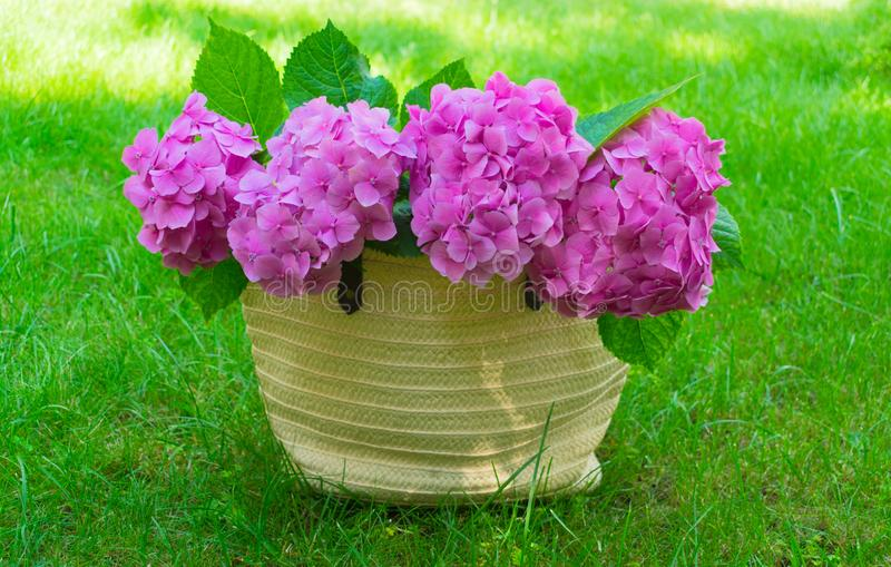Pink hydrangea flowers in a wicker women`s summer bag on a lush green grass. royalty free stock photos