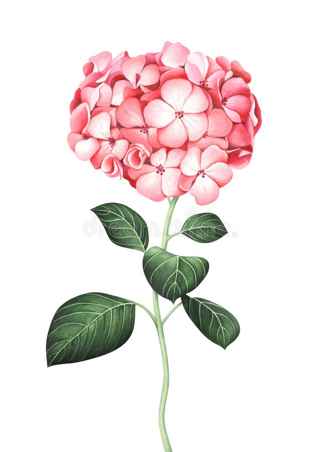 Watercolor pink hydrangea isolated on white background stock illustration