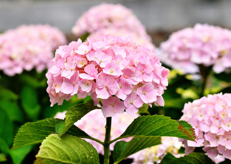 Pink hydrangea, Kyoto Japan. Pink hydrangea flowers at Japanese garden in late spring, Kyoto Japan royalty free stock photo