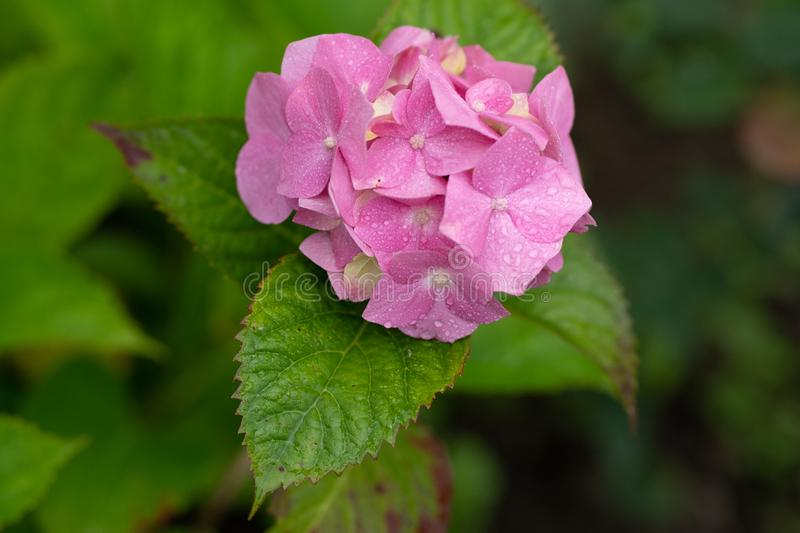 Pink hydrangea in soft focus and with rain drops close up stock images