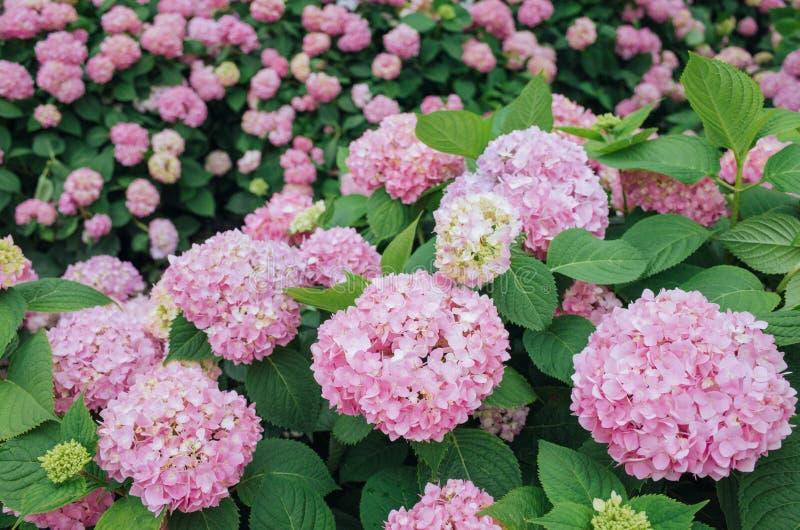 Pink hydrangeas flower stock images