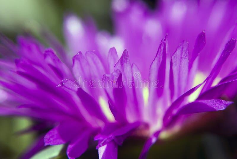 Pink ice plant carpobrotus edulis. Close up of a pink ice plant, carpobrotus edulis stock photography