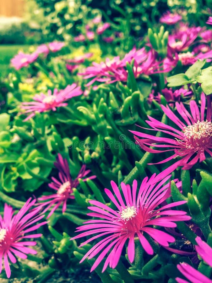 Pink Ice Plant Free Public Domain Cc0 Image