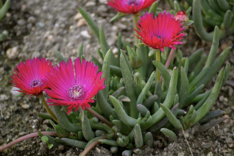 Pink Ice Plant Flowers. Bright pink magenta ice plant flowers royalty free stock photos