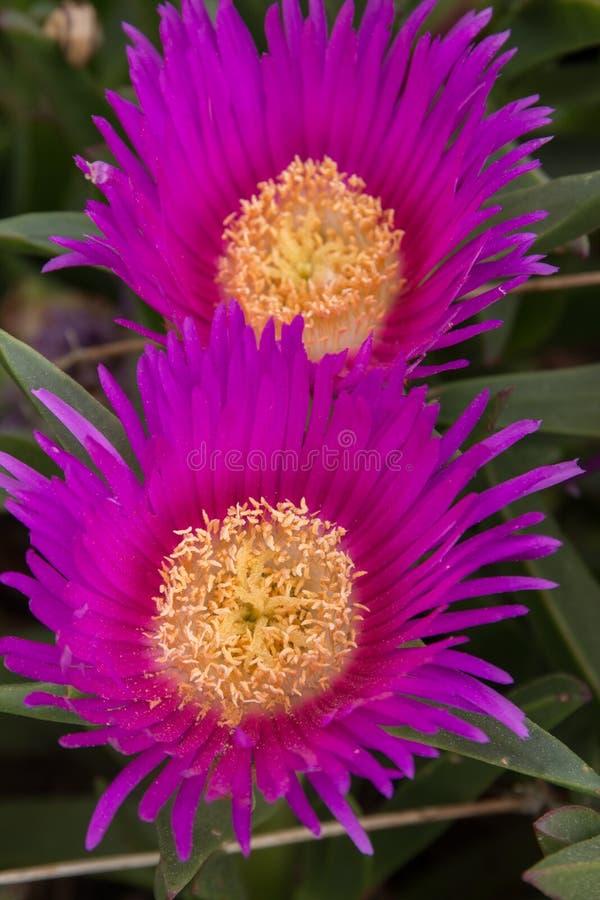 Pink ice plant. (Carpobrotus edulis) growing on the beaches stock images