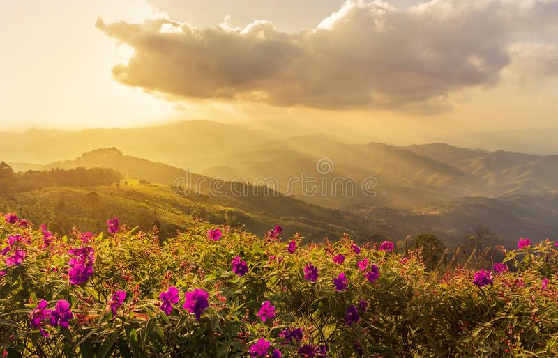 Pink impatiens balsamina flowers at doi chang mup Chiangrai,Thailand on sunset time royalty free stock photos