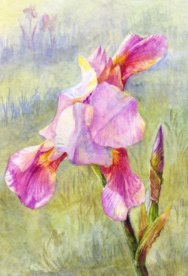 Pink iris watercolor, suit for poster, wallpaper, background, po royalty free illustration
