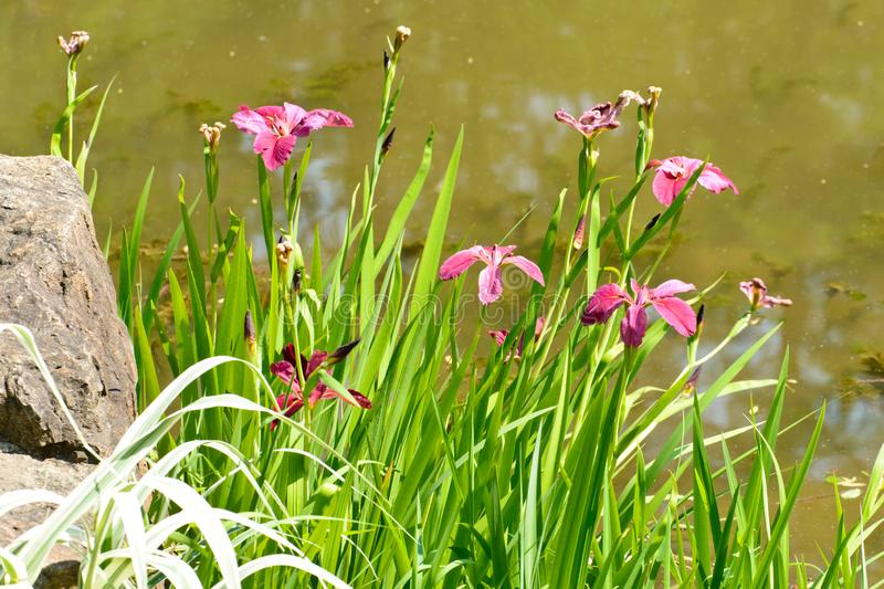 Pink irises. A cluster of pink irises in blooming near the pond in the garden. It is beautiful ans elegant with three petals each stock photos