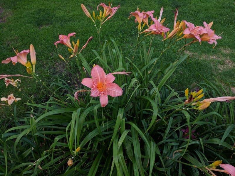 Pink Irises. Pinkish Iris flowers. Pretty flora for an elegant image background royalty free stock image
