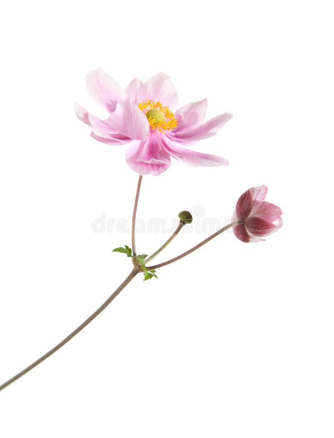 Download Pink japanese anemone stock image. Image of beauty, anemone - 6402397