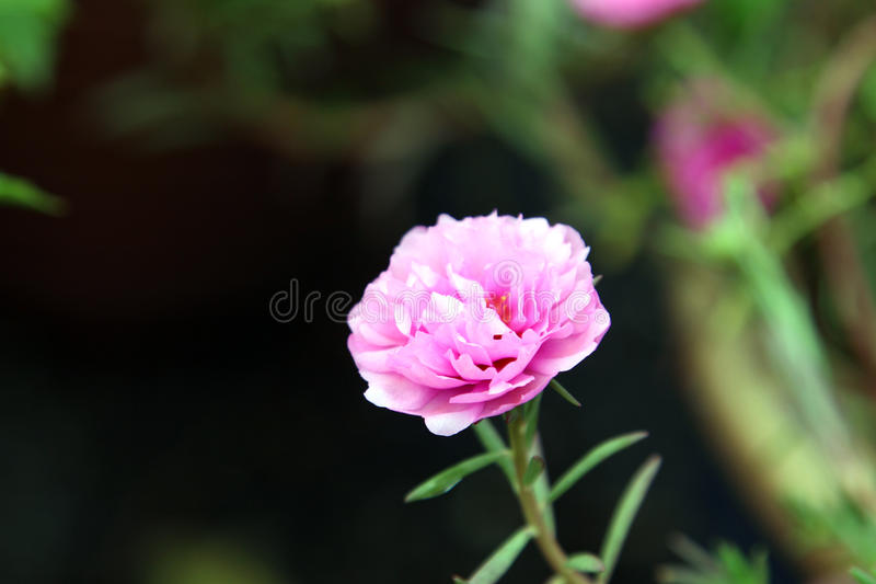 A pink Japanese rose in a park royalty free stock images