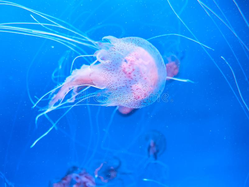 Pink jelly fish drift by in a deep ocean tank at Loro Park Loro Parque, Tenerife, Canary Islands, Spain.  royalty free stock photography