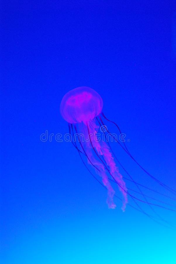 Pink Jellyfish in blue water stock photography