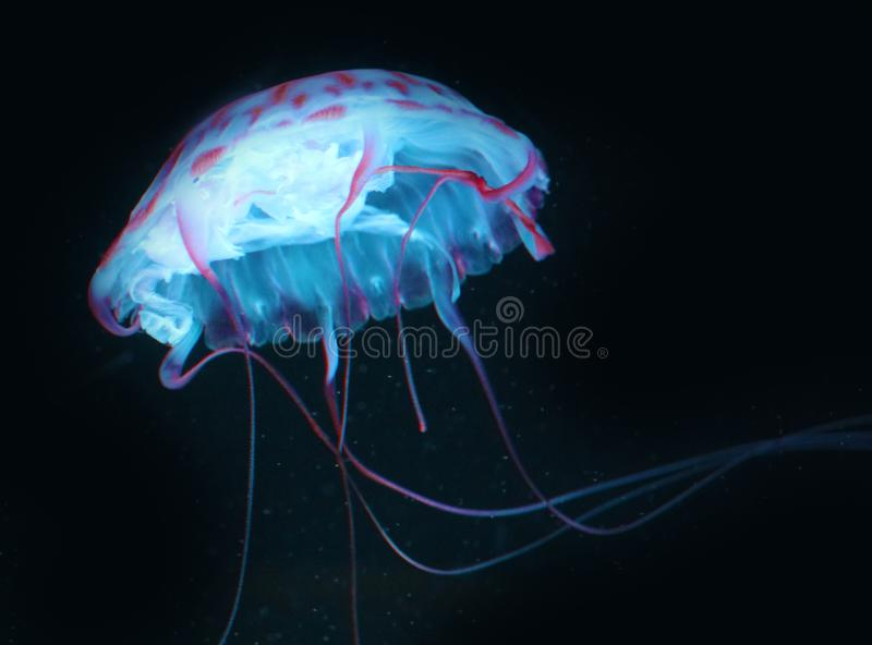 Blue Pink Jellyfish in dark background, beautiful animal. Pink Jellyfish in dark background, beautiful animal. Marine fauna of vibrant colors royalty free stock image