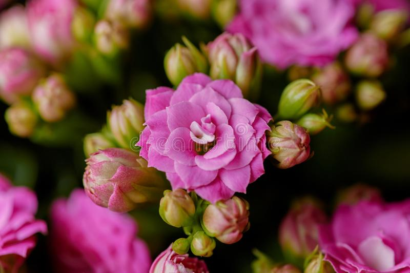 Pink Kalanchoe close up. Looks like dwarf rose flower. Beautiful macro background. With copy space. Spring blossom concept royalty free stock photo