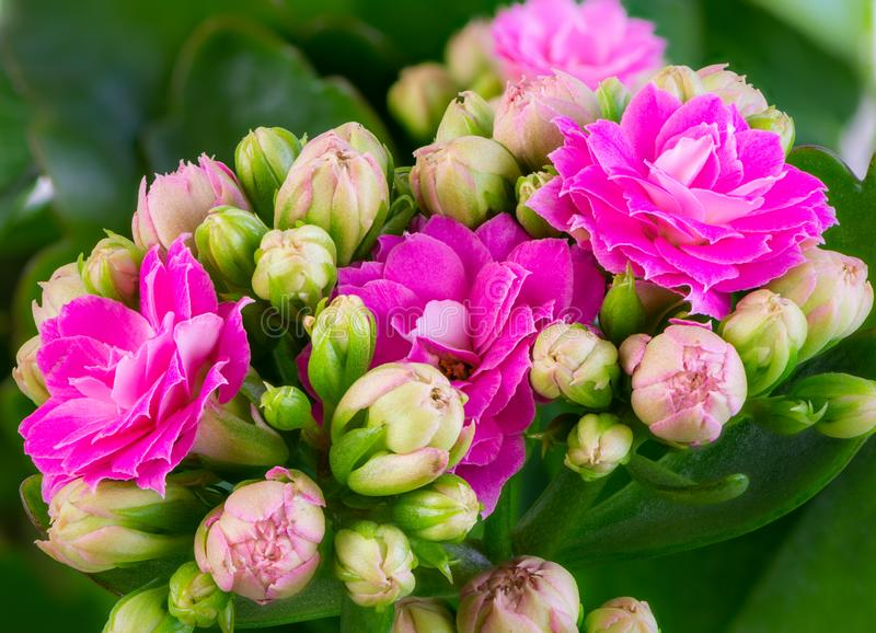 Pink kalanchoe flower blossoms. Macro of pink kalanchoe flower blossoms royalty free stock photo