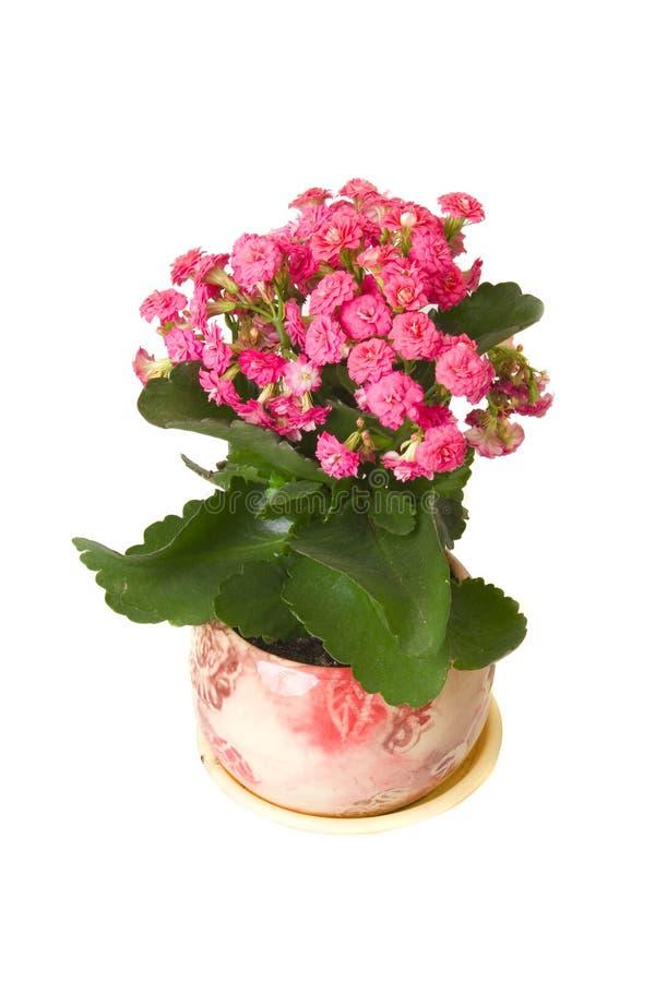 Pink kalanchoe flower in pot royalty free stock photos