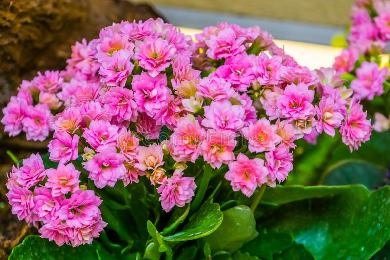 Pink kalanchoe flowers in closeup, popular cultivated ornamental houseplant from Africa stock image