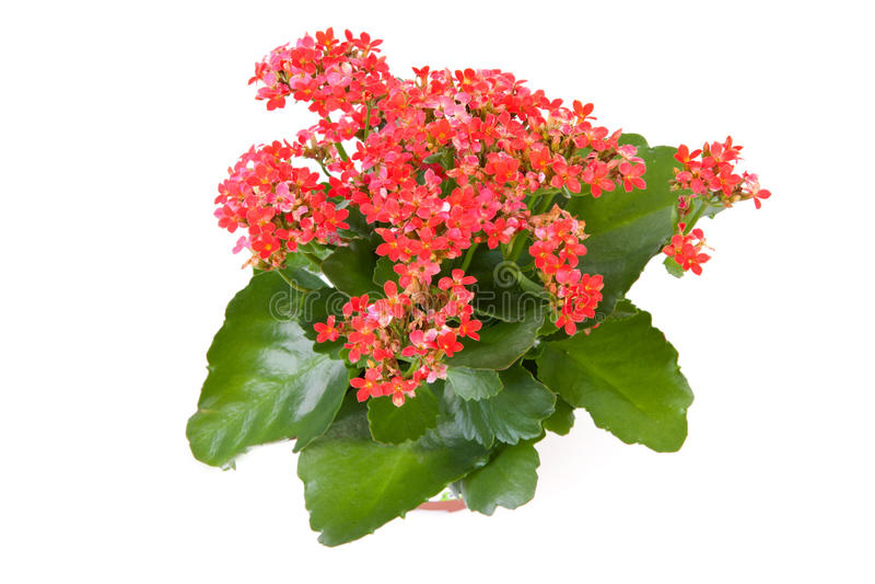 Pink kalanchoe plant royalty free stock photo