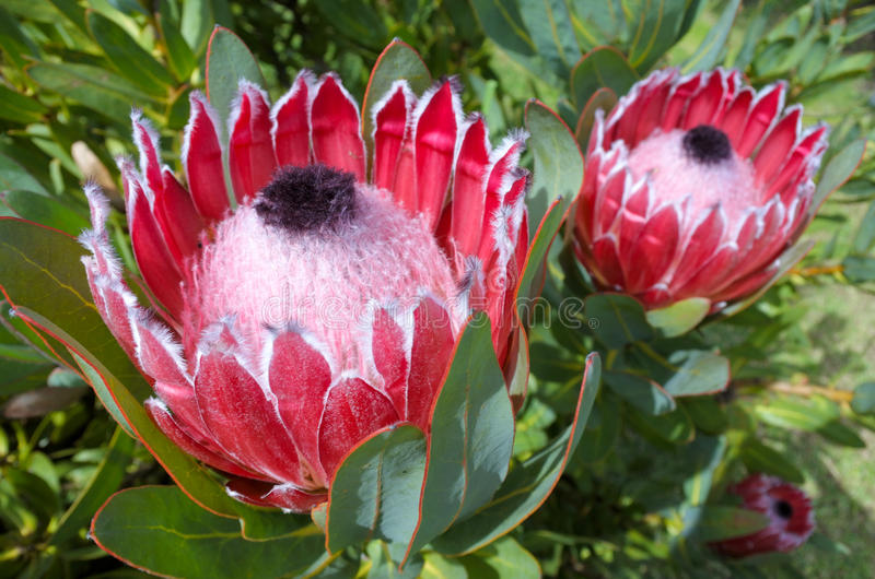 Pink king protea plant stock images