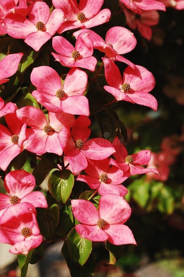 Pink kousa dogwood flowers royalty free stock images