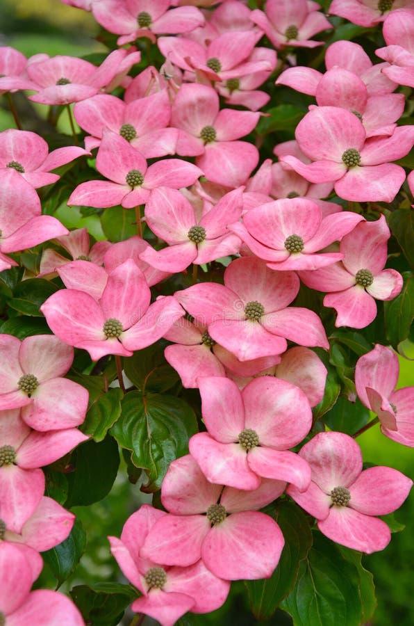 Pink kousa dogwood flowers