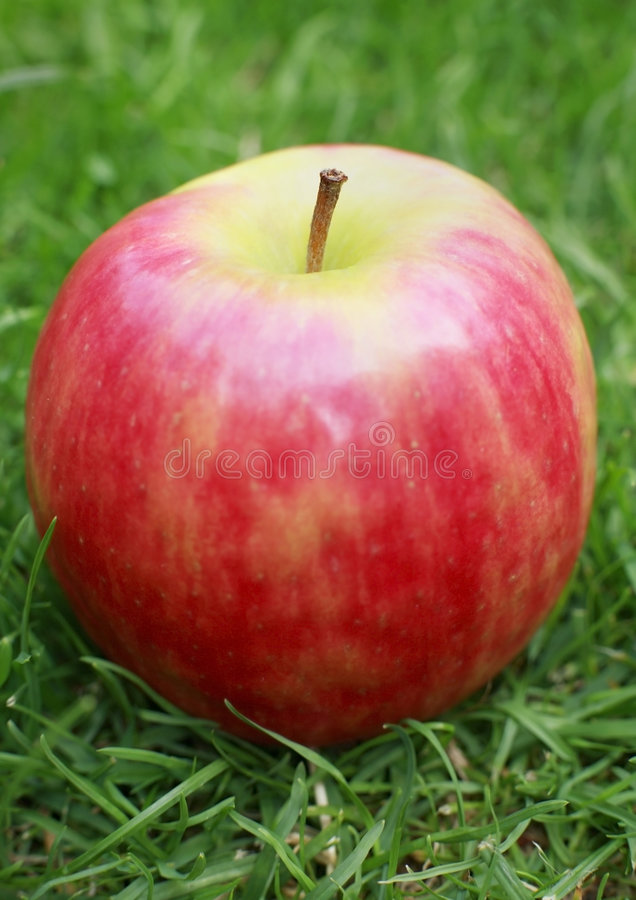 Pink lady apple. Close-up of pink lady apple in a garden royalty free stock images