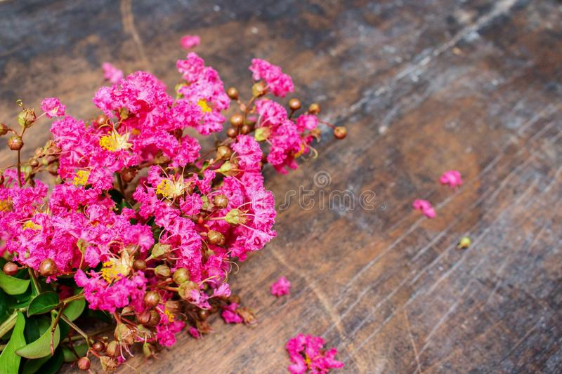 Pink Crepe on Wood 10. Pink Lagerstroemia indica or crepe myrtle on Old Black Wood stock image