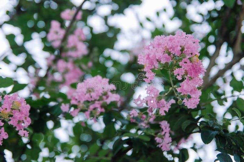 Crape myrtle flowers blooming in summer stock image