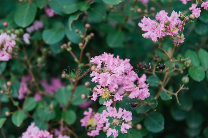 Crape myrtle flowers blooming in summer royalty free stock photos