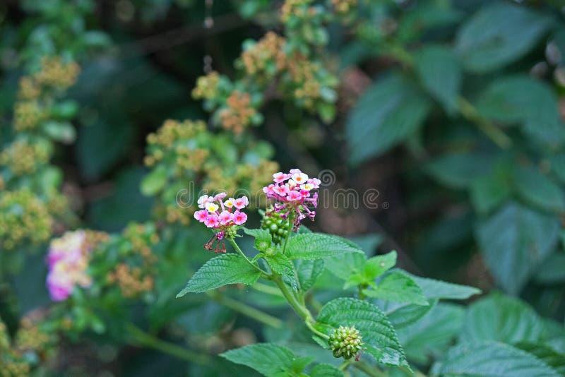 pink lantana flowers royalty free stock photos