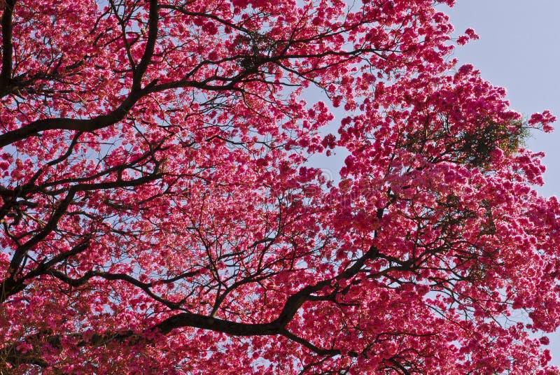 Pink Lapacho tree stock image