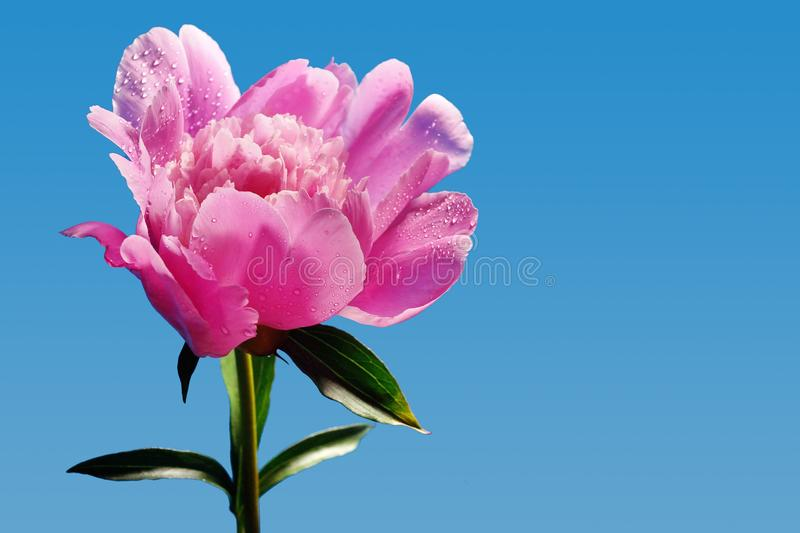 Pink large peony flower close-up side view blue background. Blooming open Bud stock photography